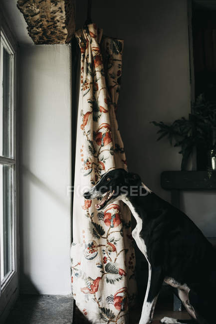 Adorable Spanish greyhound looking through window while sitting behind window at home — Stock Photo