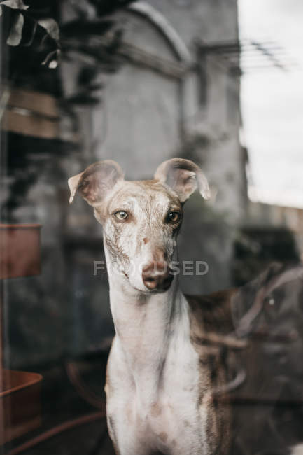 Adorable Spanish greyhound sitting behind window at home — Stock Photo