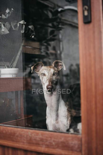 Adorable Spanish greyhound sitting behind window at home — Stock Photo