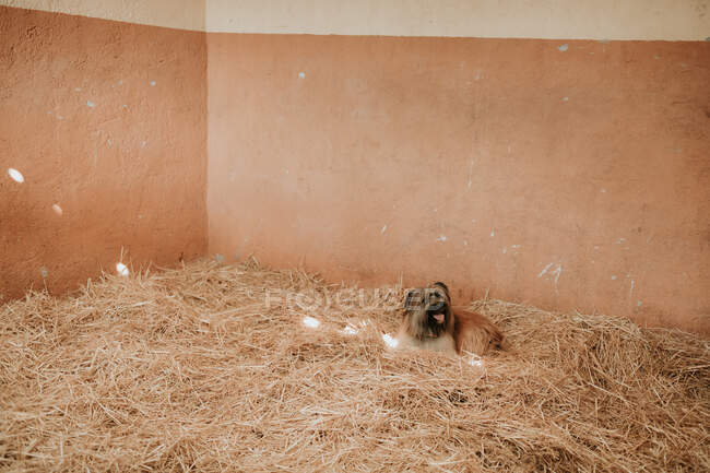 Funny little dog lying on heap of fresh hay inside stable on ranch — Stock Photo