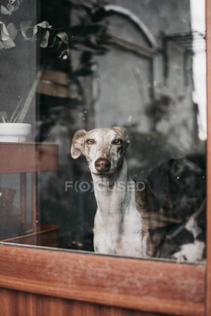 Adorável galgo espanhol sentado atrás da janela em casa — Fotografia de Stock