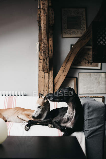 Симпатичный испанский боржоми, отдыхающий на удобном диване в уютном доме — стоковое фото