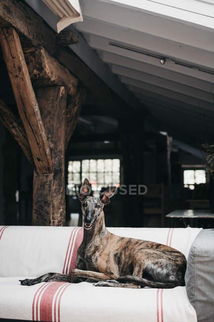 Grazioso levriero spagnolo marrone rilassante su comodo divano a casa accogliente — Foto stock