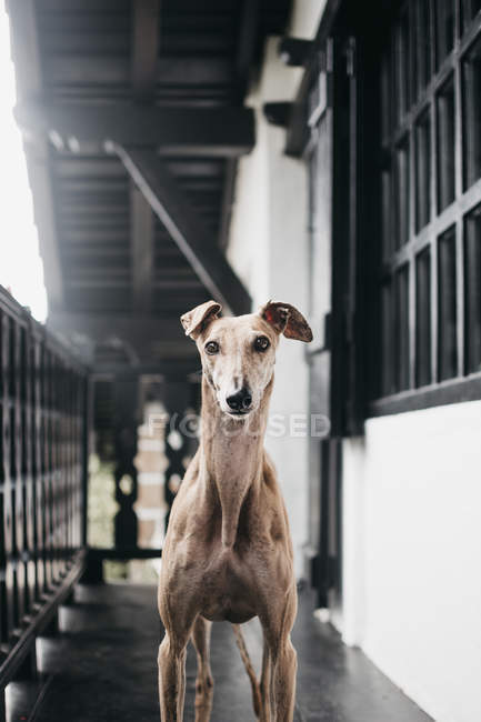 Cute Spanish greyhound standing on balcony and looking at camera — Stock Photo