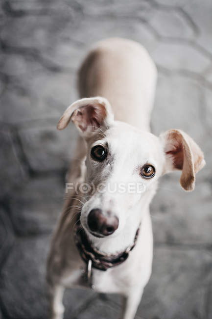 White Spanish greyhound standing on pavement on street and looking at camera — Stock Photo