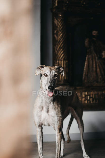 Cute Spanish greyhound standing on blurred dark background — Photo de stock