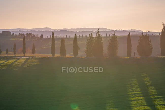 Grove of green cypresses in remote empty field at sunset, Italy — Stock Photo
