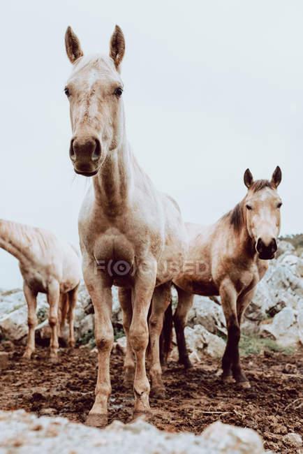 Cavalli che pascolano sul campo con erba secca vicino alle montagne — Foto stock
