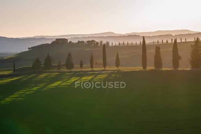 Роща зеленых кипарисов в отдаленном пустом поле на закате, Италия — стоковое фото