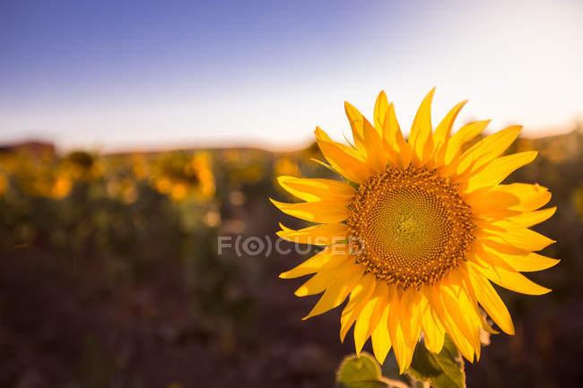 Girasol colorido brillante en la luz del sol creciendo en el campo - foto de stock