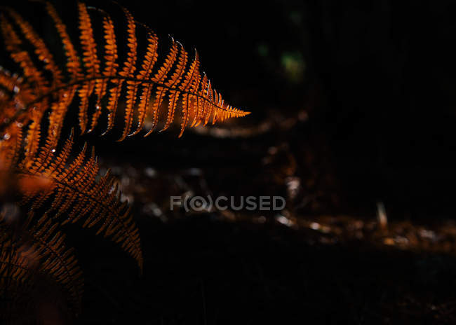 Dry leaves of fern growing on blurred background of dark forest — Stock Photo
