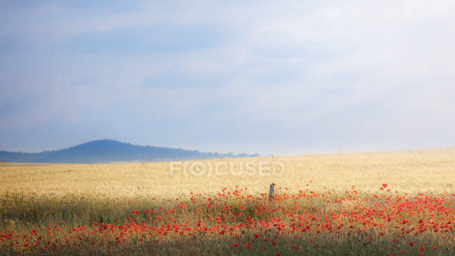 Jiggling tall grass in rural field and flowers under cloudy sky — Stock Photo