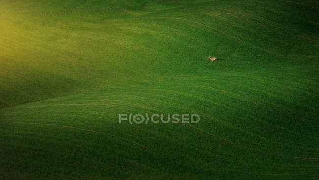 Landscape of majestic green field with pasturing deer, Tuscany, Italy — Stock Photo