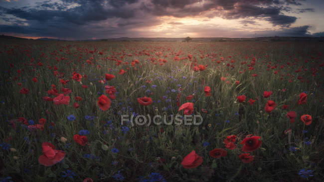 Rural field with blooming flowers under cloudy sky at sunset — Stock Photo