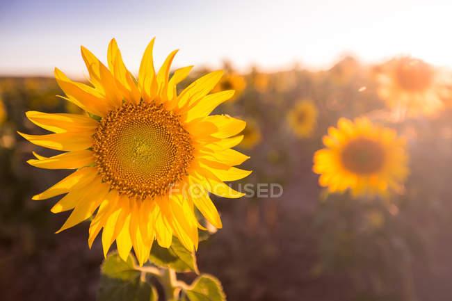 Яркий красочный подсолнечник в солнечном свете, растущем в поле — стоковое фото