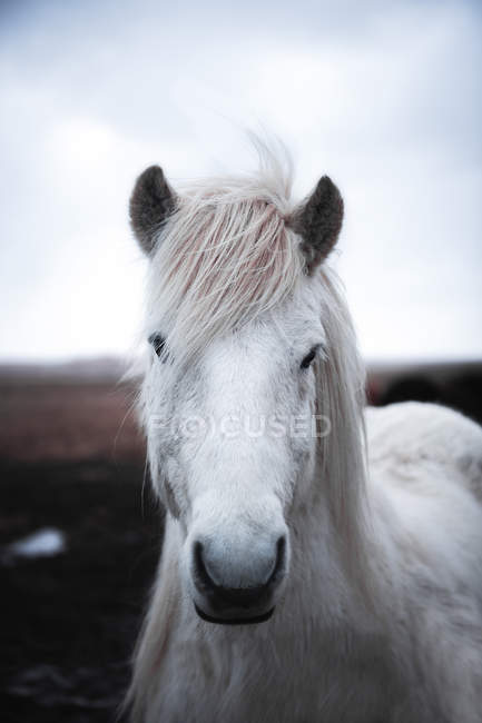 Nahaufnahme eines weißen Pferdes im Freien in Island — Stockfoto