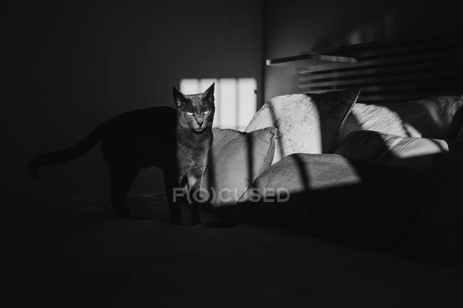 Black and white photo of cute cat standing on bed under ray of light — Stock Photo