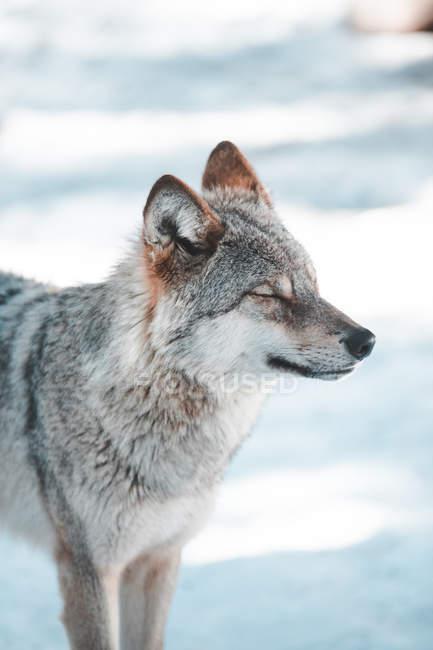 Крупным планом дикий волк глядя в нее в зимнем поле — стоковое фото