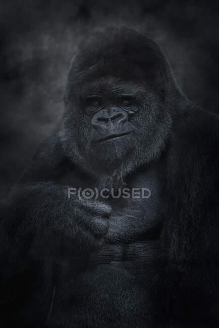 Argento indietro gorilla di montagna guardando la fotocamera — Foto stock