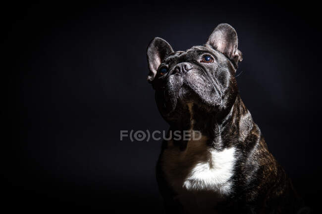 Old black bulldog posing in studio — Stock Photo