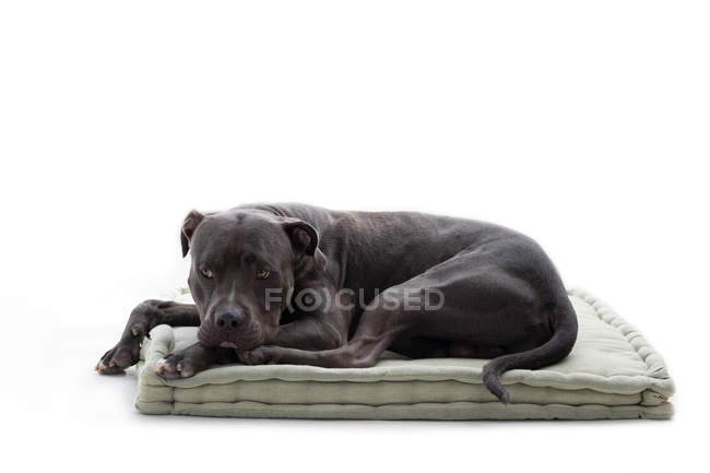 Old black lonely purebred dog lying and resting on mat on white background — Stock Photo