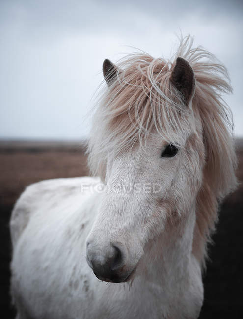 Close-up of white horse outdoors in Iceland — Stock Photo
