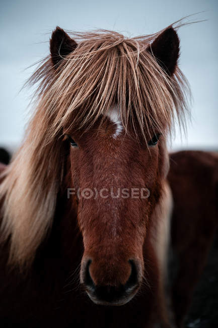 Close-up of brown horse outdoors in Iceland — Stock Photo