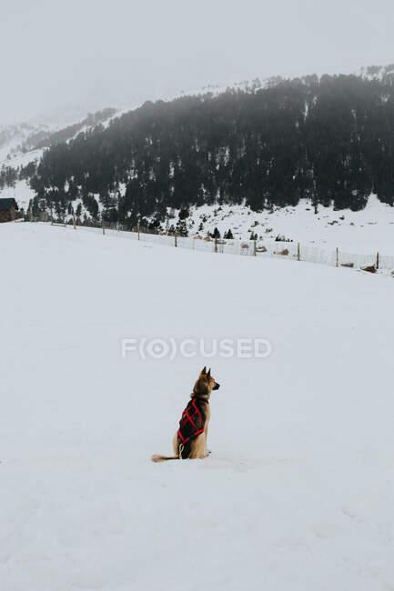 Pastore tedesco seduto in mostra bianca in giornata ventosa fredda in campagna maestosa — Foto stock