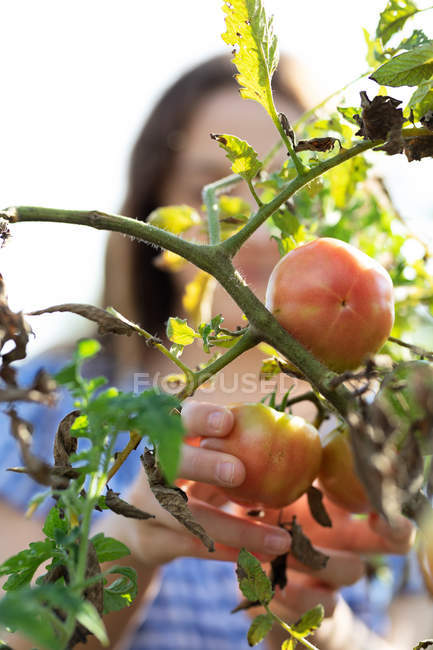 Unrecognizable blurred teen girl picking ripe tomatoes from green plants — Stock Photo