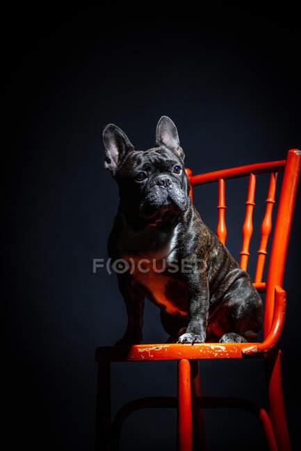 Adult sad black purebred french bulldog sitting on chair — Stock Photo