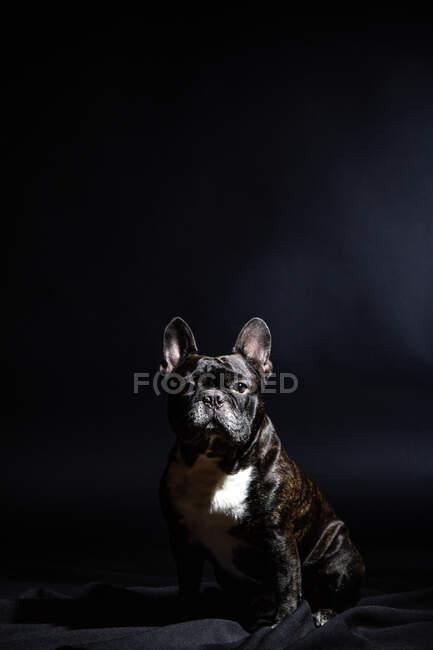 Old black bulldog posing in studio — Stock Photo