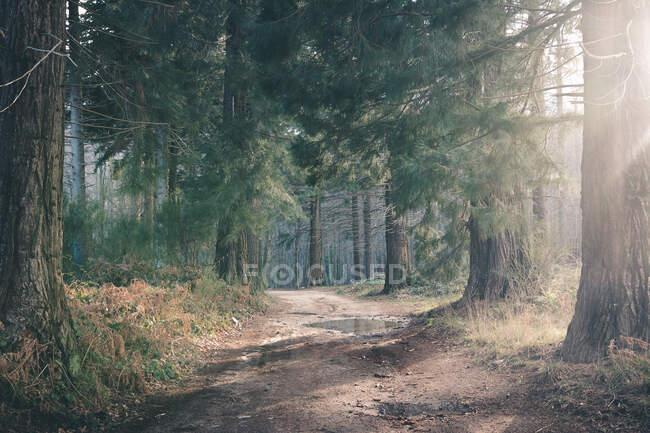 Пыльная дорога в хвойных лесах — стоковое фото