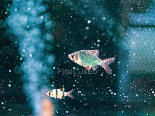 Gros plan des poissons tropicaux nageant dans l'eau transparente de l'aquarium — Photo de stock