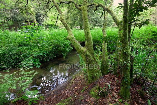 Поток в лесу папоротники влажной растительности в Галисии, Испания — стоковое фото