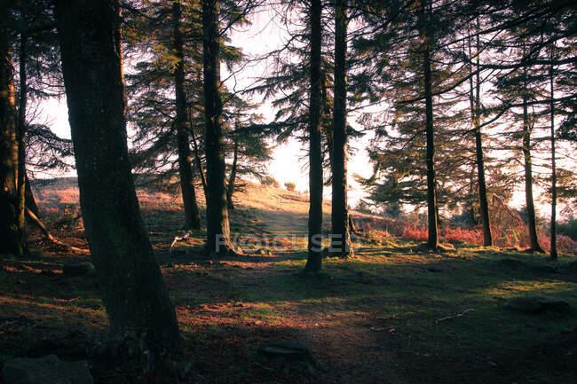 Paysage de la forêt de conifères — Photo de stock