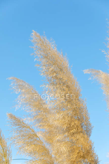 Orelhas do trigo dourado no campo da exploração agrícola rural — Fotografia de Stock