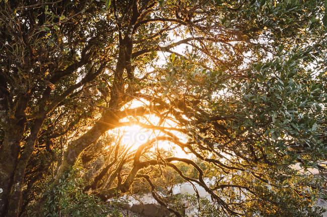Мальовничий вид гілок дерев з золотим світлом ранкового сходу сонця крізь листя — стокове фото
