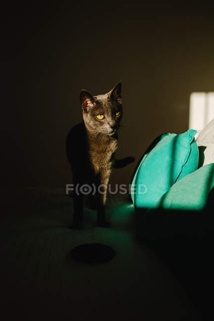 Gato bonito que está na cama o raio de luz no quarto escuro — Fotografia de Stock