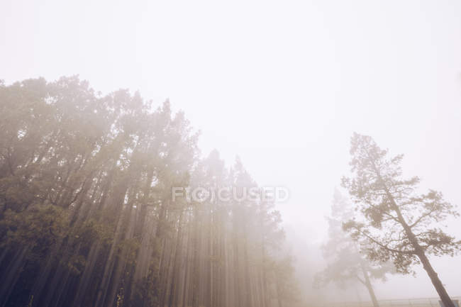 View of tall spruces in foggy day — Fotografia de Stock
