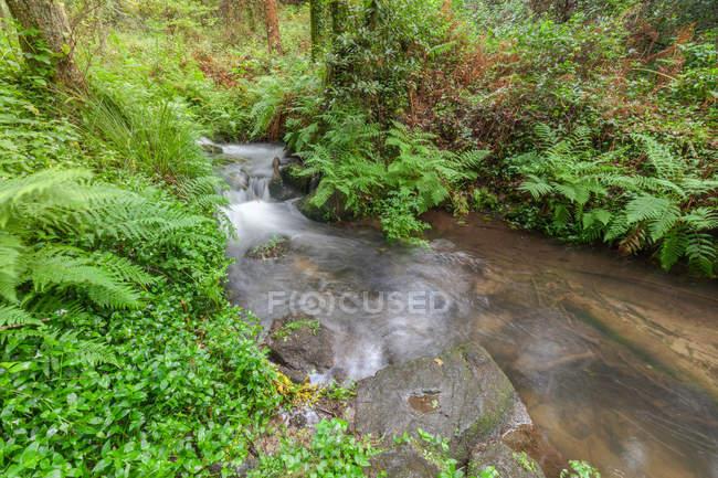 Arroyo en helechos forestales vegetación húmeda en Galicia, España - foto de stock