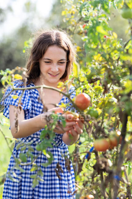 Teen girl picking ripe tomatoes from green plants on sunny daytime on farm in Catalonia, Spain — стокове фото