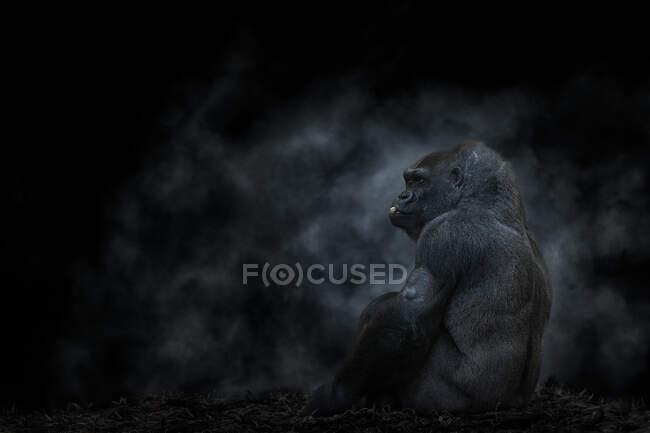 Vista lateral de la espalda de plata gorila de montaña sentado y comiendo nuez en la espalda iluminada - foto de stock