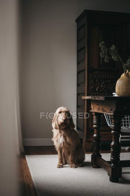 Дорослі сумні прекрасні пухнасті собаки сидять на килимі біля дерев'яного столу з начинкою і дивляться на камеру. — стокове фото