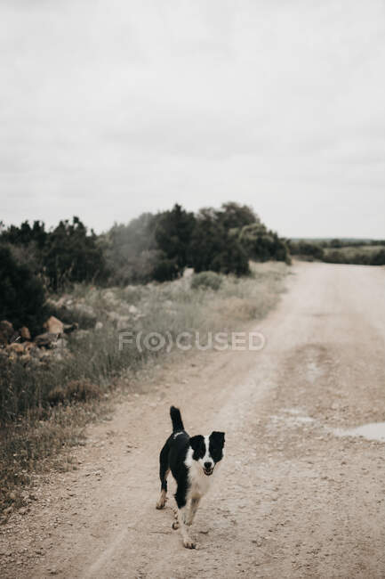 Adult pretty furry purebred dog walking on dirty road with puddles in nature — Stock Photo