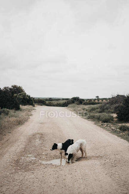 Adult pretty furry purebred dog walking on dirty road with puddles in nature — Stockfoto