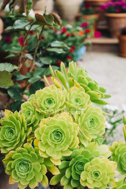 Closeup of green succulents in pot in garden — Stock Photo