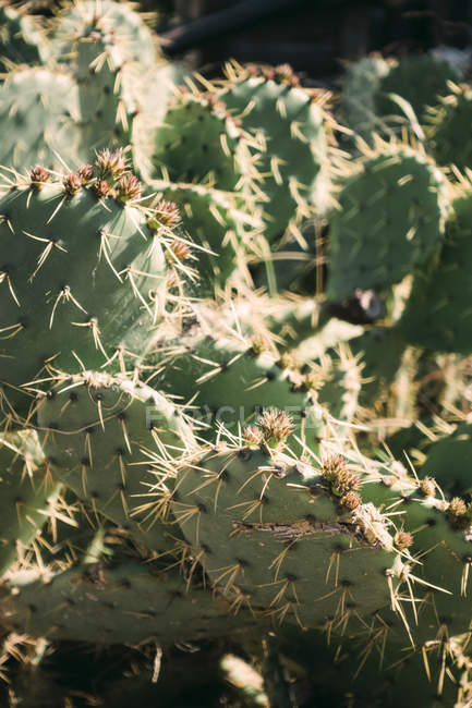 Крупным планом кактусов растет в солнечной природе — стоковое фото