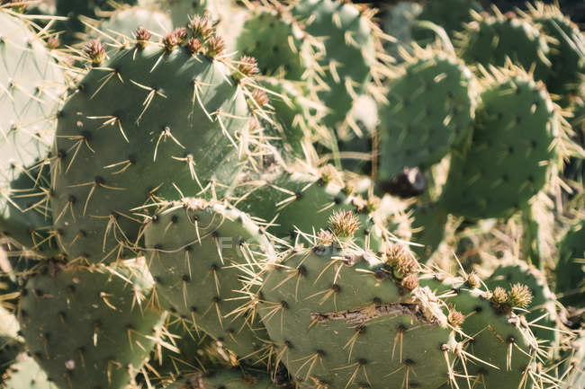 Closeup of cacti growing in sunny nature — Stockfoto