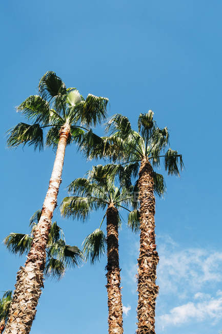 View of high palms with lush leaves on background of blue sky on sunny day — Stock Photo