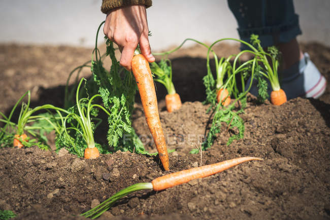 Cropped image of woman in casual outfit pulling ripe carrot from soil on sunny day on farm — Stock Photo